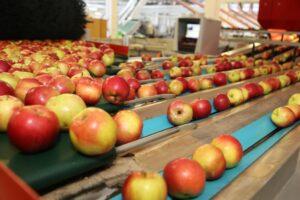 nadpodaż jabłek